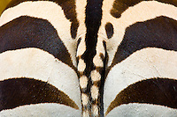 A zebra's rear, Ngorongoro Crater, Ngorongoro Conservation Area, Tanzania