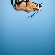 Reflexion of an oryx in Okaukuejo watering hole (Etosha National Park)