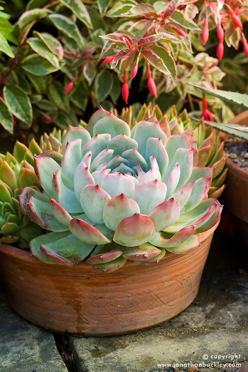 Echeveria elegans growing in a shallow terracotta pot with fuchsia and agave at Great Dixter