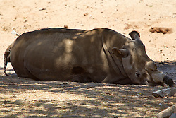 Female Northern White Rhinoceros or Northern Square-lipped Rhinoceros (Ceratotherium simum cottoni) named Nola sits in the shade at the San Diego Zoo Safari Park, Escondido, California, United States of America