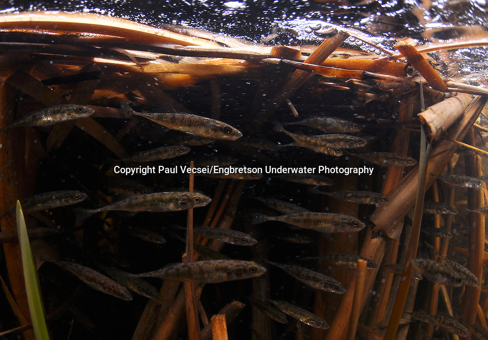 Group of Ninespine Stickleback<br /> <br /> Paul Vecsei/Engbretson Underwater Photography