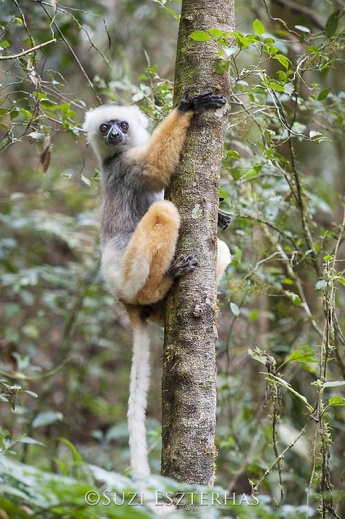 Diademed Sifaka <br /> Propithecus diadema<br /> Andasibe-Mantadia National Park, Madagascar