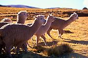 PERU, ALTIPLANO Alpacas grazing on the Altiplano between Cuzco and Puno