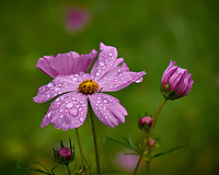Pink Cosmos flower after the rain. Backyard summer nature in New Jersey. Image taken with a Leica T camera and 55-135 mm lens (ISO 100, 118 mm, f/5.6, 1/60 sec).