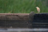 Squacco heron (Ardeola ralloides)  in Moldova