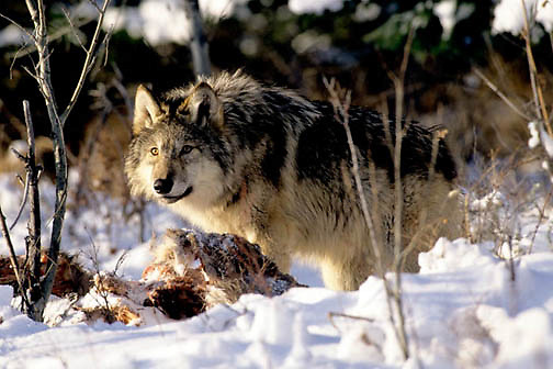 Gray Wolf, (Canis lupus) Standing over deer carcass. Captive Animal.