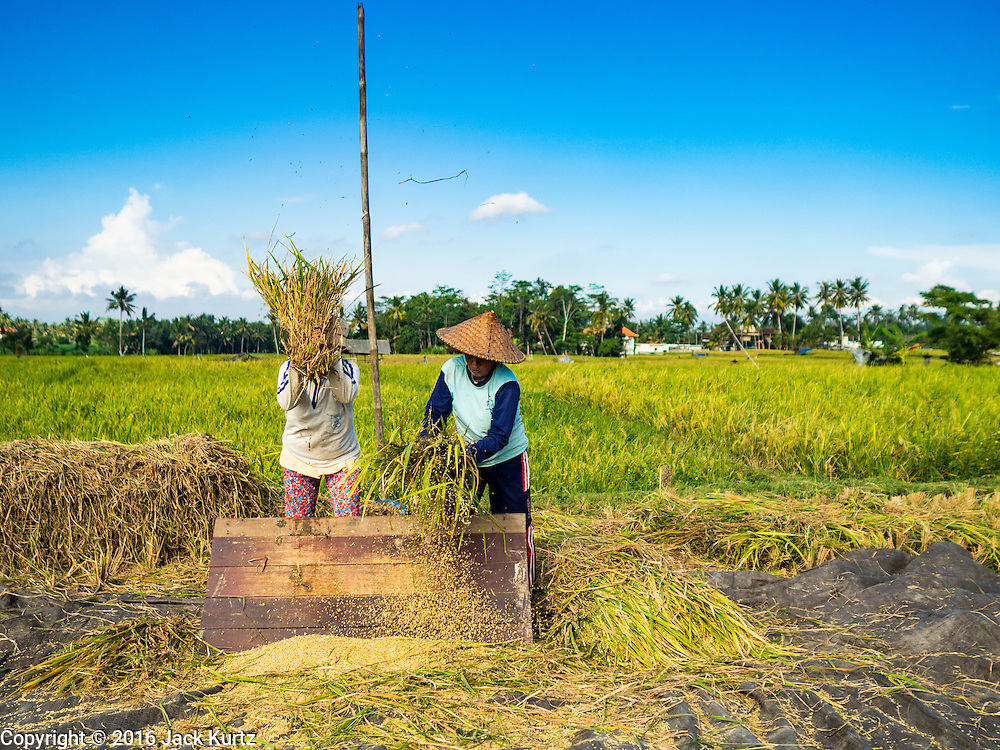 20 JULY 2016 - TAMPAKSIRING, GIANYAR, BALI: Women thresh rice to separate the kernels from the stalk during the rice harvest in Tampaksiring, Bali. Rice is an important part of the Balinese culture. The rituals of the cycle of planting, maintaining, irrigating, and harvesting rice enrich the cultural life of Bali beyond a single staple can ever hope to do. Despite the importance of rice, Bali does not produce enough rice for its own needs and imports rice from nearby countries. Because of its dependable growing weather and number of micro-climates, rice cultivation is a year round activity in Bali. Some farmers can be harvesting rice, while farmers just a few kilometers away can be planting rice. Most rice in Bali is still harvested by hand.      PHOTO BY JACK KURTZ