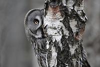 Great grey owl (Strix nebulosa) peering around birch tree, Bergslagen, Sweden.