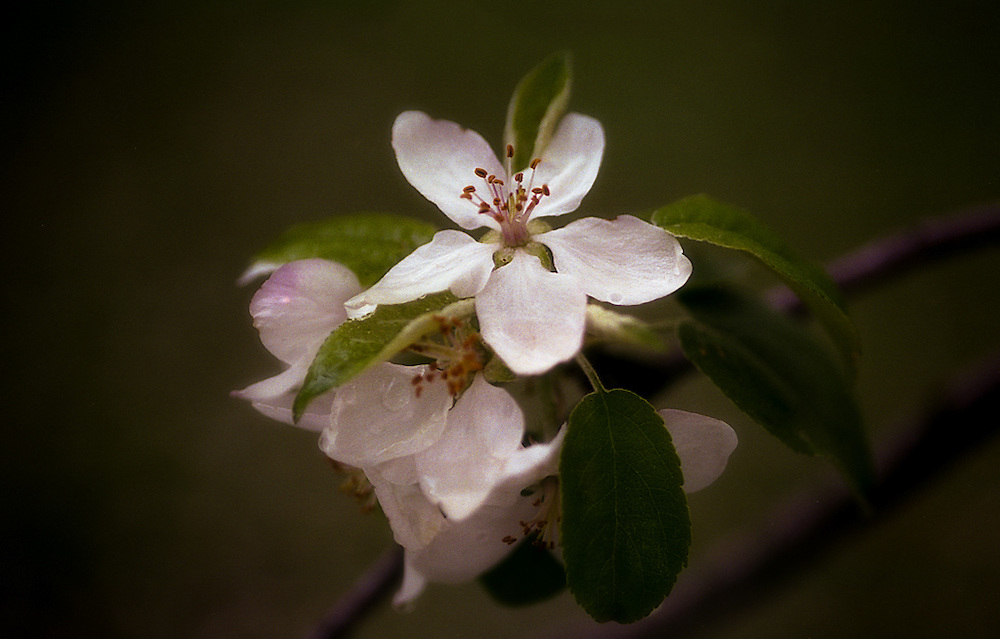 Delicate White Apple Blossoms in a Morning Rain