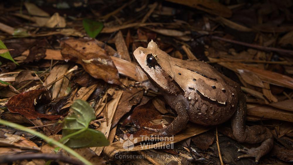 Burmese Horned Frog (Brachytarsophrys carinense) in Kaeng Krachan national park, Thailand