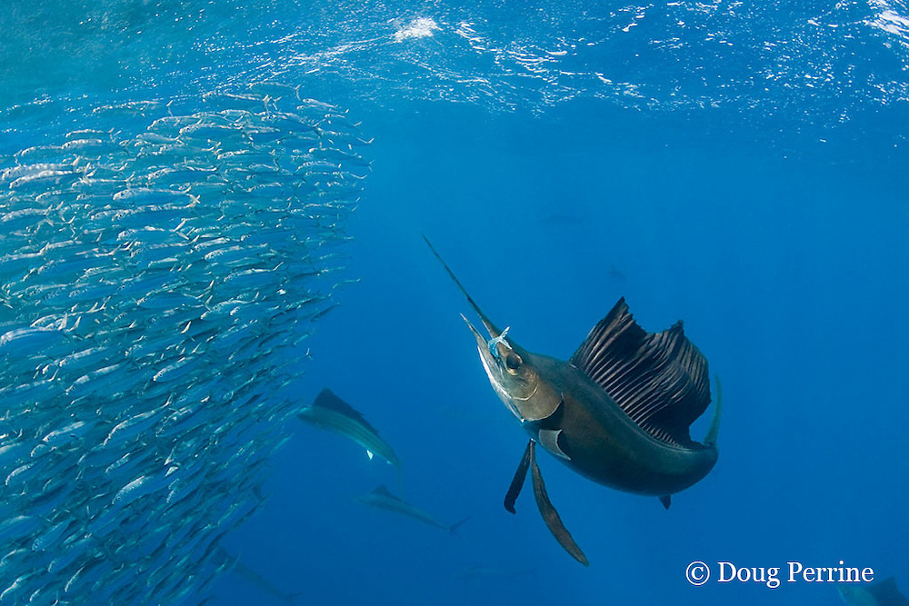 Atlantic sailfish, Istiophorus albicans, seizes a fish out of a bait ball of Spanish sardines (aka gilt sardine, pilchard, or round sardinella ), Sardinella aurita, off Yucatan Peninsula, Mexico ( Caribbean Sea )