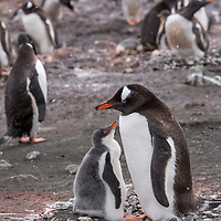 A gentoo penguin sits on a rock nest with its fluffy grey chick on a snowy day on Barrientos Island.