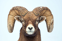 Bighorn sheep ram with full curl horns in Jasper National Park, Alberta, Canada