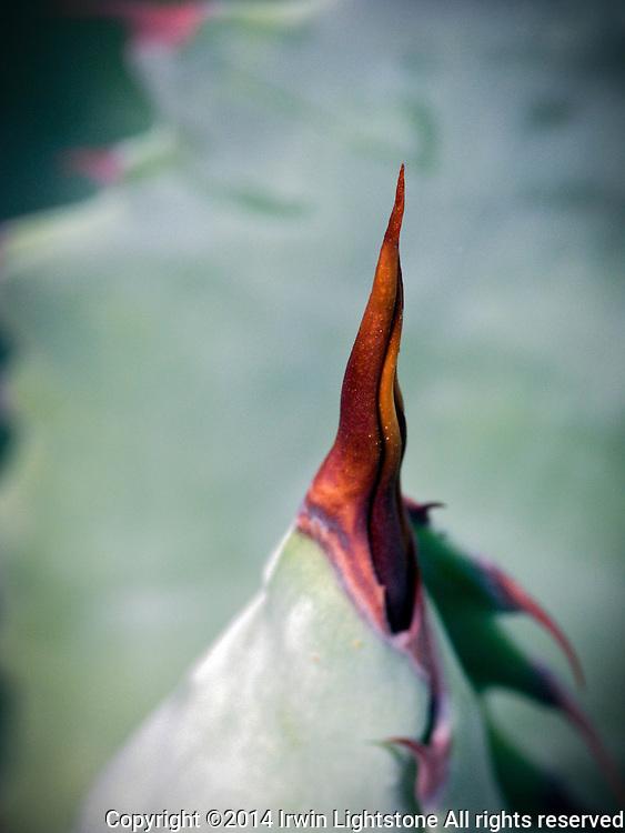Sharp red tip of Agave potatorum spine