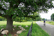 Bij De Bilt rijdt een racefietser langs een groep schapen die onder een boom verkoeling zoeken.<br />
