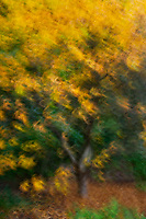 An abstract rendition of glorious golden falling leaves.