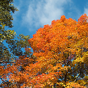 Beautiful fall foliage with bright orange and yellow leaves on a tree in New York's Central Park.
