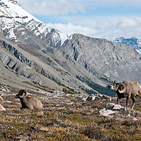 three bighorn sheep one dominate ram muscles by two younger bedded rams on the side of a mountain