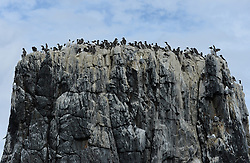 © Licensed to London News Pictures. 30/06/2016. Farne Islands, UK. Seabirds nest on cliffs on the Farne Islands, Northumberland. Between mid-April and late July the Farne Islands are home to over 100,000 pairs of breeding seabirds including puffins, kittiwakes, terns and cormorants.  Photo credit: Anna Gowthorpe/LNP