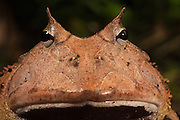 Amazon Horned Frog (Ceratophrys cornuta)<br />