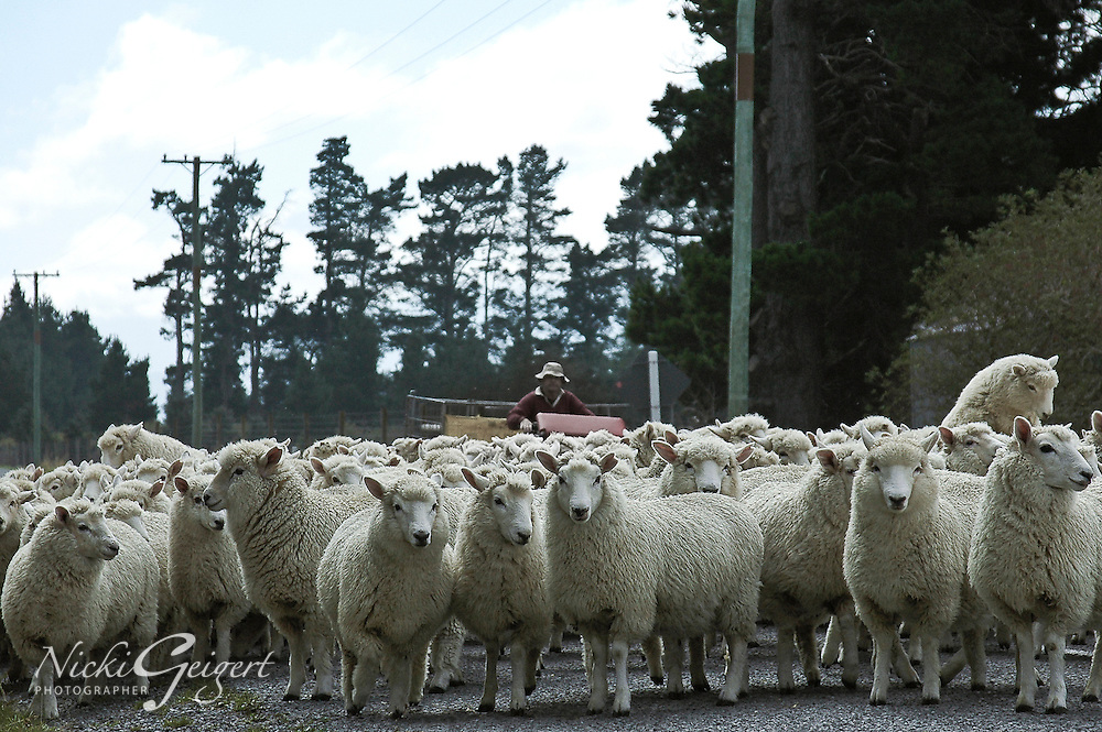 Shepherd driving a herd of sheep down a road in Kaikoura, New Zealand. Fine art photography prints, wall art, and stock images.