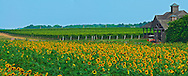 Pindar Vineyards, Peconic, New York, Sunflowers