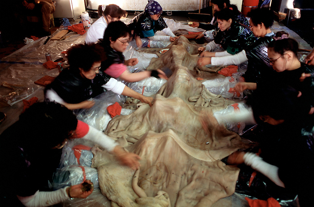 Alaska. Barrow. Women work together to sew the seal skin cover for the whaling vessels, known as an Umiak.