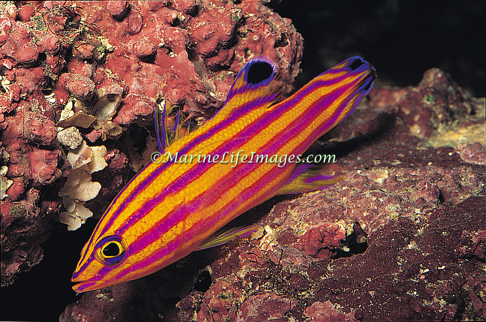 Candy Basslet hide in dark recesses in deep coral reefs and rubble slopes in Tropical West Atlantic; picture taken Curacao.