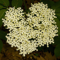 A close-up of a beautiful white flowering  cluster of Elderberry.