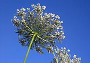 Queen Anne's lace plant against vivid blue sky