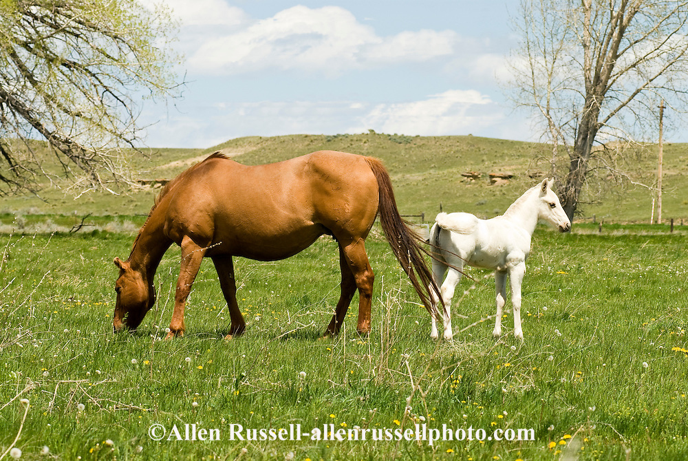 Quarter Horses, dun mare and gray foal<br /> PROPERTY RELEASED
