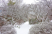 Crabapple trees arch over a snow-covered pathway at the Asticou Azalea Garden, Northeast Harbor, Maine.