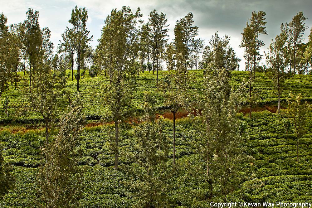 tea plantations Hill Country Sri Lanka