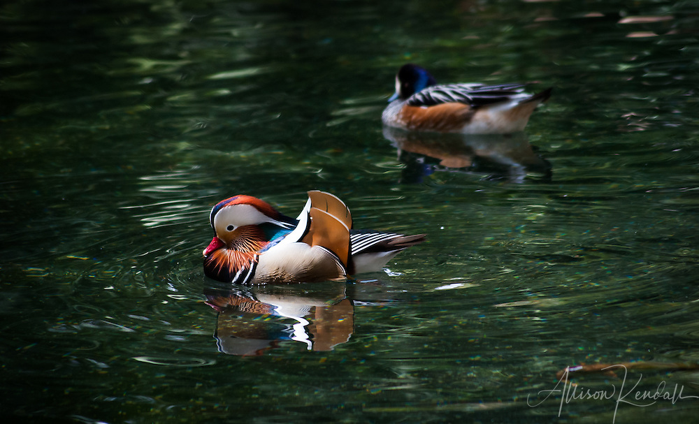 A colorful male Mandarin duck displays his dramatic plumage to a female as they swim across the dark green waters of their pond