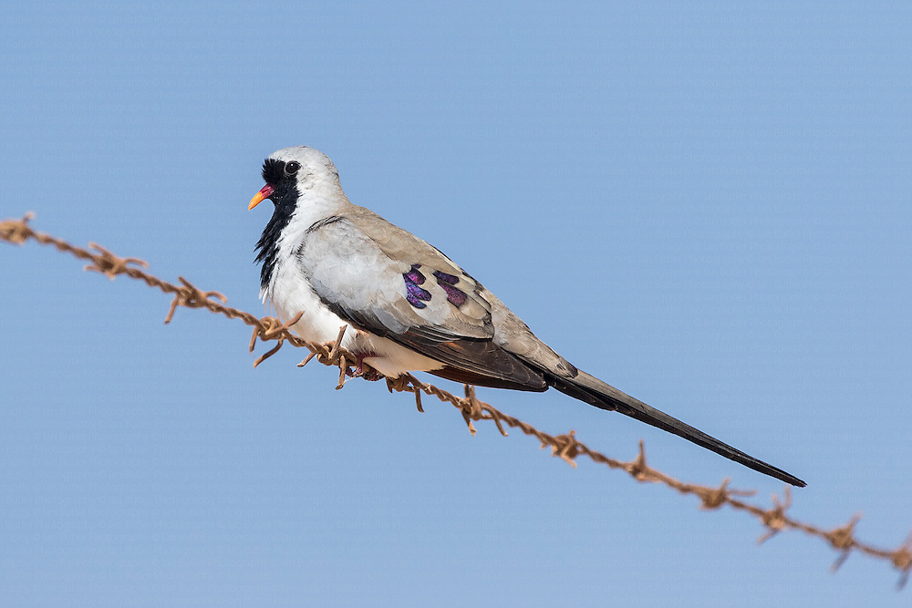 Male Namaqua Dove Oena capensis perched on barbed wire fence, Eilat, Israel