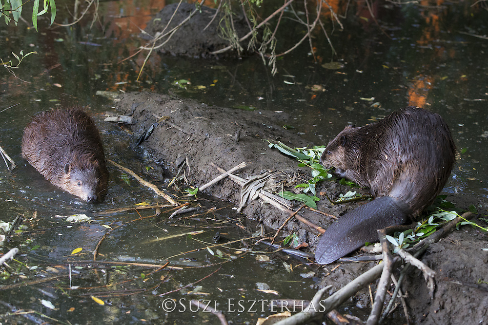 North American Beaver<br /> Castor canadensis<br /> On dam in urban environment<br /> Martinez, CA