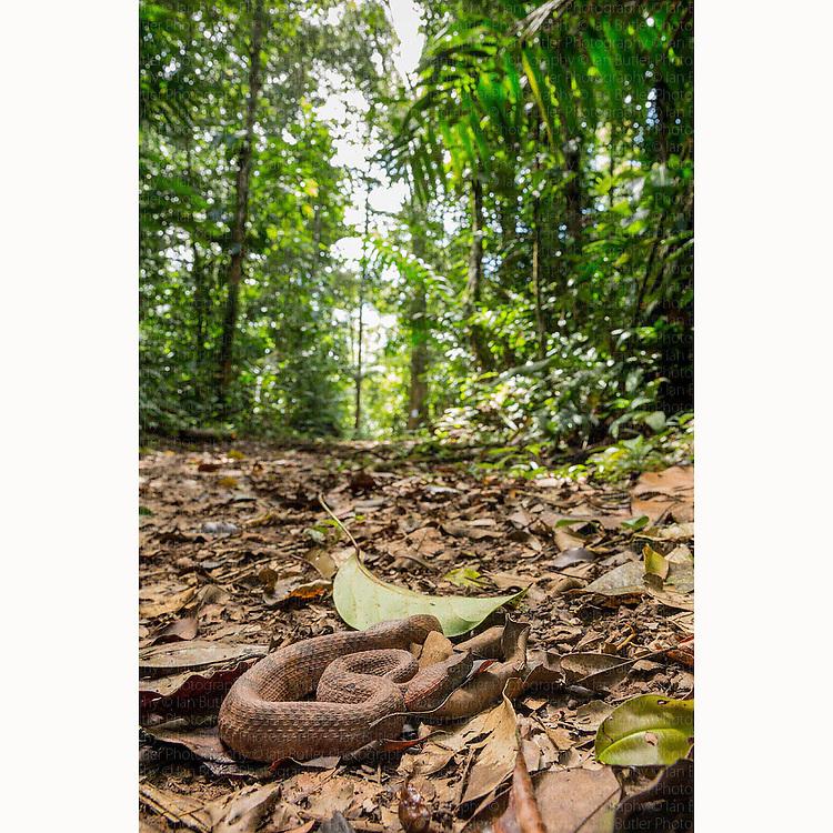 Wide angle image of Rainforest Hognosed Pit Viper (Porthidium nasutum) coiled up on rainforest floor near Boca Tapada, Costa Rica, February, 2014.