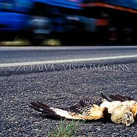 """Rabo-de-palha """"Phaethon aethereus"""" atropelado, BR101, Santa Catarina, Brasil, 07/12/2000 foto de Ze Paiva/Vista Imagens"""