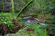 Lush greenery surrounds Redwood Creek as it journeys through the forest, Muir Woods National Monument