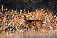 Mature whitetail in autumn habitat
