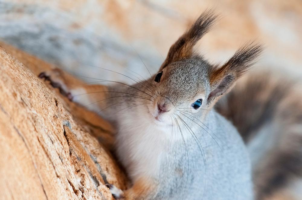 Eurasian Red Squirrel, Sciurus vulgaris, Kaamanen, Finland
