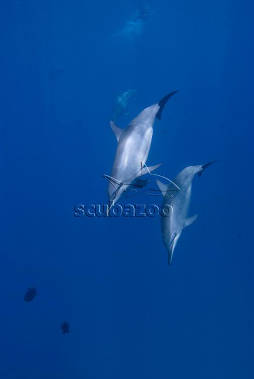 Spinner Dolphins, Stenella longirostris, Fernando de Noronha, Brazilian Coast, Atlantic Ocean, Brazil.
