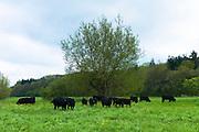 Herd of black Aberdeen Angus cattle near Kingham in Oxfordshire, UK