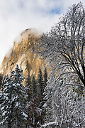 El Capitan and black oak in winter, Yosemite National Park, California USA