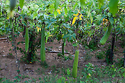 Domingos Martins_ES, Brasil...Plantacao de esponja natural em Domingos Martins...The loofah plantation in Domingos Martins...Foto: LEO DRUMOND / NITRO