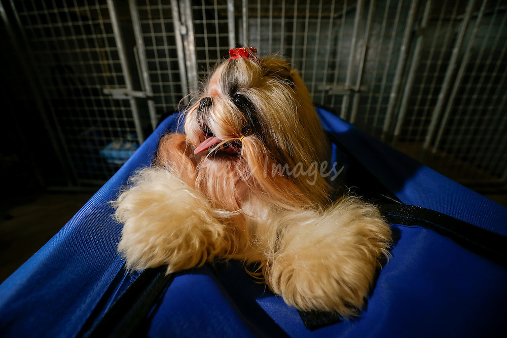A Shih Tzu is seen at the 50th Euro Dog Show in Kortrijk, Belgium, 16 November 2013.