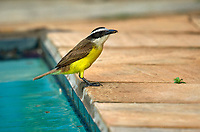 Great Kiskadee (Pitangus sulphuratus),  collecting termites from swimming poolPousada Solar do Ingles, Chapada, Matto Groso, Brazil