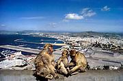 Spanje, Gibraltar, 10-9-2004..Apen leven wild op de rots van Gibraltar. Uitzicht op het vliegveld en het Spaanse La Linea...Britse kroonkolonie. Spanje wil de rots terug...Foto: Flip Franssen/Hollandse Hoogte