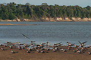 Black Skimmers (Rynchops nigra)<br /> Orinoco River, north of Puerto Ayacucho. Apure Province, VENEZUELA. South America.<br /> Found in large flocks along the sea coast and larger rivers.
