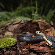 Monocled Cobra (Naja kaouthia) juvenile from high elevation in Nan, Thailand